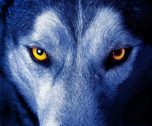 Closeup photo of a wolf with yellow eyes